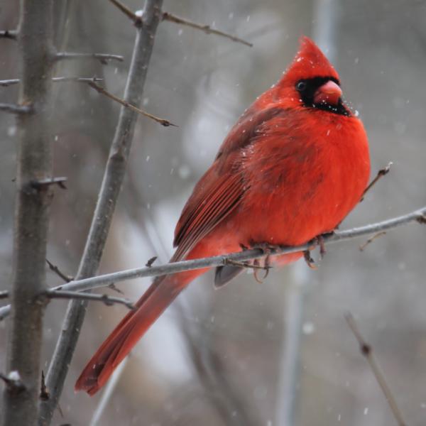 Bird Resources Cardinal
